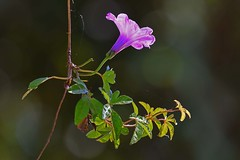 Ipomoea pes-caprae (Geoffsnaps) Tags: ilovenature animals nature beautiful beautyofnature nikond810 nikon d810 fx nikonnikkor200500mmf56eedafs nikkor 200500mm f56e e ed afs acratechpanoramichead acratech panoramic head gitzogm5541carbonmonopod gitzo gm5541 carbon monopod