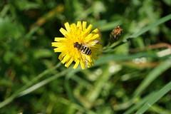 DSC02595 (Alexus Wendus) Tags: wald himmel berge bayern allgäu füssen forggensee wandern klettern seilbahn natur freiheit gipfel urlaub schöpfung landschaft blüte blume biene wespe