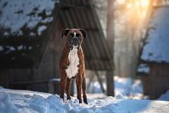 Winter hike (Tamás Szarka) Tags: dog pet animal puppy boxer winter snow cold