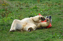 attack of the cone (dan487175) Tags: bear blacknose blackeyes uk ursus ursinae ursusmaritimus urso fur white wet claws cute cone trafficcone paws polarbear playing polar projectpolar project zoo yourkshire ywp tail toes toy bär back 1 2018 mammal giant fun funny silly grass flowers yellow green belly muzzle legs feet male head teeth nikon sigma 500mm enclosure wildlifepark park dayout summer rolling over whitefur eye paw pads black brown red orange chew holes broken large mamal