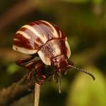 Leaf beetle, Platyphora ligata, Chrysomelidae thumbnail