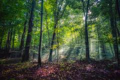 The Understory (downstreamer) Tags: claycliffs leelanau samyang12mm autumn conservancy fog forest trees