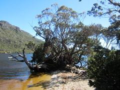 IMG_3769 (shearwater41) Tags: australia tasmania cradlemountain dovelake tree lake