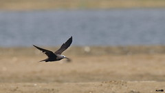 Lesser Noddy (harshithjv) Tags: bird birding pelagicbird vagrant noddy lessernoddy lesser sooty sootynoddy anous tenuirostris charadriiformes laridae aves avian canon 80d tamron bigron g2