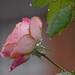 rose- tears?