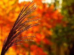 HERBSTFARBEN PA078046 (3) (hlh 1960) Tags: autumn herbst gras blätter leaves bunt colours farben bokeh nature natur oktober