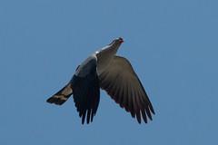 Topknot Pigeon in Flight (RoosterMan64) Tags: australia australiannativebird bif bird birdinflight nature queensland topknotpigeon tropicalnorthqueensland wildlife