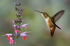 Allen's (Patricia Ware) Tags: allenshummingbird backyard birdsinflight california canon canonef500mmf4lisusmlens fullframe manhattanbeach multipleflash selasphorussasin tripod ©2018patriciawareallrightsreserved specanimal