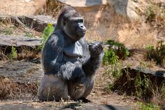 The boss (Flemming Andersen) Tags: apenheul zoo monkey animal apeldoorn gelderland netherlands nl