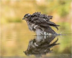 Sparrow Hawk taking a bath (Gertj123) Tags: bird bokeh water autumn bathing male birdofprey birdwatching avian animal arjantroost hide netherlands nature canon sigma120300mmf28