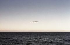 Freeeeedom (fraser_west) Tags: film 35mm analog colour roadtrip california usa coast sea ocean canoneos3 bird flight landscape horizon waves monterey wetheconspirators