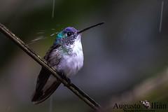 DSC_2679.jpg (Augusto Ilian G) Tags: amaziliaandina andeanemerald amaziliafranciae