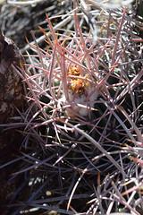 Cottontop Cactus (pchgorman) Tags: cottontopcactus echinocactuspolycephalus taxonomy:binomial=echinocactuspolycephalus echinocactus northmcculloughwilderness sloancanyonnationalconservationare cactaceae nevada clarkcounty october deserts