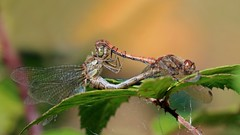Common Darter mating - Sympetrum striolatum (jaytee27) Tags: commondartermating sympetrumstriolatum localwoodkentuk naturethroughthelens