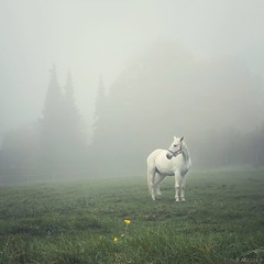 The White Horse (M a r i k o) Tags: iphone iphonex iphoneography iphonephotography mobile mobilephotography mariko square horse pferd white schimmel nebel fog mist autumn herbst weis meadow aufkirchen oberding erding bayern bavaria germany snapseed