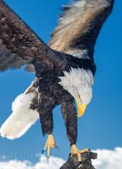 Incoming (mikeSF_) Tags: mikeoriaphotography mikeoria 70mm eagle bald baldeagle bif raptor bird wing talons beak