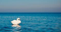 Höckerschwan an der Ostseeküste (mrburton75) Tags: swan blau weis elegant wildvögel wildvogel vogel strand saltwater salzwasser ozean coast küste wasser heiligendamm kühlungsborn mvp mecklenburgvorpommern deutschland germany see baltic baltikum ostseeküste ostsee schwäne schwan