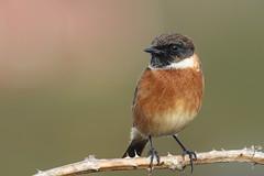 Stonechat (Dougie Edmond) Tags: prestwick scotland unitedkingdom gb bird nature wildlife