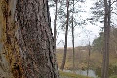 Baumstamm (claudipr0) Tags: lettland baltikum latvia strand ostsee wald baumstamm kiefernwald balticsea kiefern birken birch pinetrees saulkrasti