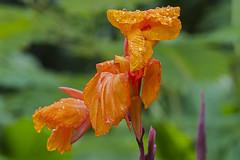 Münster Bot Garten 25082018 056 (Dirk Buse) Tags: münster nordrheinwestfalen deutschland deu nrw blüte tropfen regentropfen botanischer garten farbe color colour flora pflanze mft m43 mu43