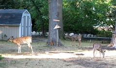 Daily Colours - September Deers (Pushapoze (NMP)) Tags: deer babydeer flowers cat olive horacio leaves snack encas