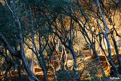Il bosco degli ulivi (danilocolombo69) Tags: ulivi bosco sole danilocolombo69 danilocolombo nikonclubit