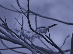 DSC01518 - 000 (phenixliu68) Tags: shrike bird nature 紅尾伯勞 伯勞 候鳥 動物 戶外 野生 生態攝影