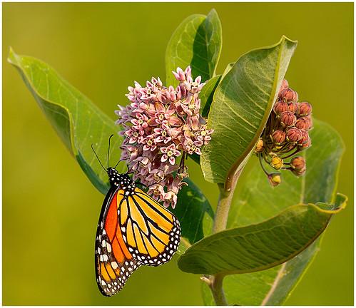 Monarch on Milkweed by Don Cochrane - Class B Digital -  Award- Sept 2018