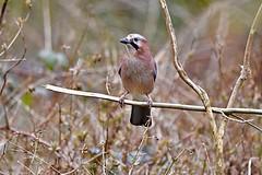 Jay(Garrulus glandarius) (victorhobson55) Tags: autumn colours perch adeldam leeds wildlifephotography nikon d7200 stunning colour intelligent shy blue magnificent nature wild jay garrulusglandarius