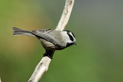 Mountain Chickadee (3362) (Bob Walker (NM)) Tags: bird perching twig moch mountainchickadee poecilegambeli chickadee losalamos newmexico usa