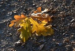 (:Linda:) Tags: germany thuringia village bürden oaktree leaf golden