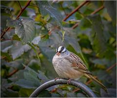 White-crowned Sparrow (Summerside90) Tags: birds birdwatcher sparrows whitecrownedsparrow october fall autumn migration backyard garden nature wildlife ontario canada