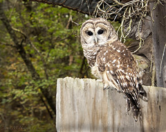 Riffle (jmhutnik) Tags: barredowl feathers barn woods westvirginia threeriversaviancenter brooksmountain