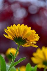 In an Irish garden (James_D_Images) Tags: flower closeup yellow bokeh red japanesemaple northernireland fall autumn