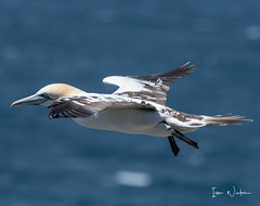 Northern Gannet-18-9 (Ian L Winter) Tags: birds capestmarysseabirdecologicalreserve ianwinterphoto nature newfoundland northerngannet seabirds wwwianwinterphotocom