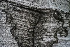 Blemish (Broot Thanks for 1 million views!) Tags: mountauburncemetery october cambridge massachusetts fall autumn fagussylvatica europeanbeech beech tree blemish bark