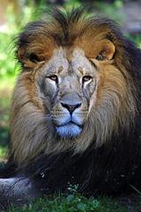 Löwe Bantu (Michael Döring) Tags: gelsenkirchen bismarck zoomerlebniswelt zoo löwe lion tc17eii afs600mm40e d850 michaeldöring
