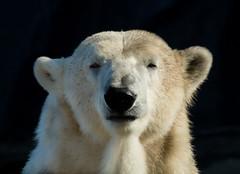 Icebear (muman71) Tags: dscf3118 fuji 300mm mf gelsenkirchen zoom zoo 2018