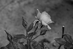 Querer Ser Rosa del Nilo (Tomás Hornos) Tags: flor blancoynegro blackandwhite macro macrofotografía ruido hojas leaves leaf d3200 digikam