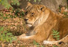 Sonnenbad (KaAuenwasser83) Tags: weiblich löwe tier zoo zookarlsruhe oktober 2018 sonne sonnenbad wärme licht