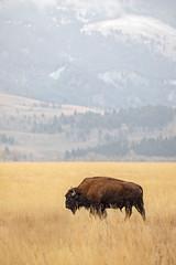 """Americonic"" (DTT67) Tags: bison animal mammal 5dmkiv canon northamerica wyoming mountains nature wildlife"