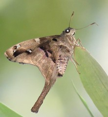Aguna megaeles (Birdernaturalist) Tags: bolivia butterfly eudaminae hesperiidae lepidoptera richhoyer skipper