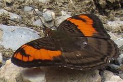 Adelpha mesentina (Birdernaturalist) Tags: bolivia butterfly lepidoptera limenitidinae limenitidini nymphalidae richhoyer