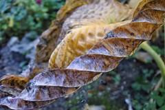 Ageing Hosta (Heathermary44) Tags: hosta hostaleaf autumn fall ageing withered macro closeup nature naturephotography