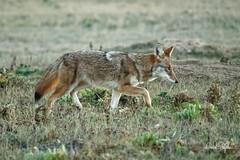 Beautiful Coyote On Her Evening Prowl (dcstep) Tags: dsc2109dxo coyote westerncoyote beautifulcoyote iso25600 cherrycreekstatepark colorado usa sonya9 fe100400mmf4556gmoss nature urban urbannature allrightsreserved copyright2018davidcstephens dxophotolab
