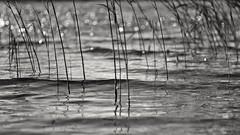 Impression (Stefano Rugolo) Tags: stefanorugolo pentax k5 pentaxk5 smcpentaxm100mmf28 ricohimaging impression abstract 169 monochrome blanckandwhite lake water ripples shimmers bokeh depthoffield dof reeds pov bythelake manualfocuslens manualfocus manual vintageprimelens vintageprime primelens