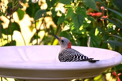 Never have I ever DSC_6834 (blthornburgh) Tags: woodpecker redbelliedwoodpecker bird birdbath nature garden outdoors pattern