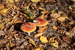 IMG_6251 (mich.amd30) Tags: champignons automne foret