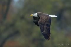 Cruising by.. (Earl Reinink) Tags: eagle baldeagle autumn color outdoors nature predator raptor bird animal forest flight earl reinink earlreinink raiduduaza