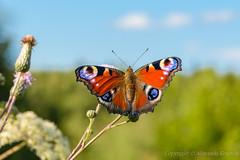 20170805_171135_Макро (Alexander Korovin) Tags: aglaisio animals butterfly closeup field flora flowers insects lepidoptera macro nature nymphalidae plants season sky summer wildlife wings ð±ð°ð±ð¾ñðºð¸ ð²ñðμð¼ñð³ð¾ð´ð° ð´ð¸ðºð°ñð¶ð¸ð·ð½ñ ð¶ð¸ð²ð¾ñð½ñðμ ðºññð»ññ ð»ðμñð¾ ð¼ð°ðºñð¾ ð¼ð°ðºñð¾ð¼ð¸ñ ð½ð°ñðμðºð¾ð¼ñðμ ð½ðμð±ð¾ ð½ð¸ð¼ñð°ð»ð¸ð´ñ ð¿ð°ð²ð»ð¸ð½ð¸ð¹ð³ð»ð°ð·ð´ð½ðμð²ð½ð¾ð¹ ð¿ð¾ð»ðμ ð¿ñð¸ñð¾ð´ð° ñð°ññðμð½ð¸ñ ñð°ñð½ð° ñð»ð¾ñð° ñð²ðμññ ñðμññðμðºññð»ñðμ